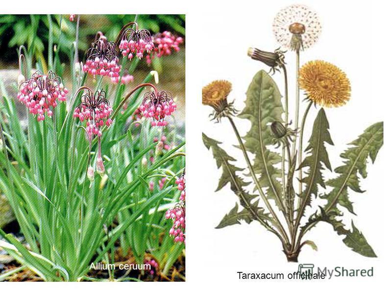 Allium ceruum Taraxacum officinale