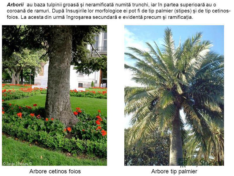 Arbore cetinos foiosArbore tip palmier Arborii au baza tulpinii groasă şi neramificată numită trunchi, iar în partea superioară au o coroană de ramuri. După însuşirile lor morfologice ei pot fi de tip palmier (stipes) şi de tip cetinos- foios. La ace