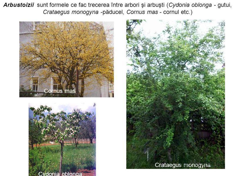 Cornus mas Cydonia oblonga Crataegus monogyna Arbustoizii sunt formele ce fac trecerea între arbori şi arbuşti (Cydonia oblonga - gutui, Crataegus monogyna -păducel, Cornus mas - cornul etc.)