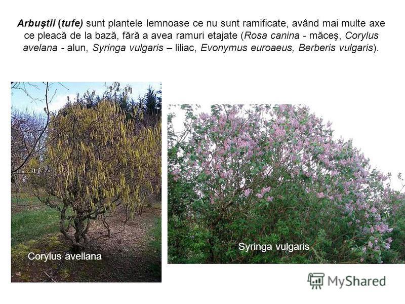 Arbuştii (tufe) sunt plantele lemnoase ce nu sunt ramificate, având mai multe axe ce pleacă de la bază, fără a avea ramuri etajate (Rosa canina - măceş, Corylus avelana - alun, Syringa vulgaris – liliac, Evonymus euroaeus, Berberis vulgaris). Corylus