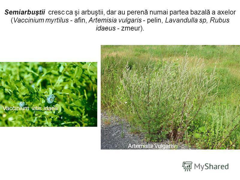 Vaccinium vitis idaea Artemisia vulgaris Semiarbuştii cresc ca şi arbuştii, dar au perenă numai partea bazală a axelor (Vaccinium myrtilus - afin, Artemisia vulgaris - pelin, Lavandulla sp, Rubus idaeus - zmeur).