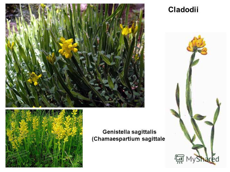 Genistella sagittalis (Chamaespartium sagittale) Genista tinctoria Cladodii