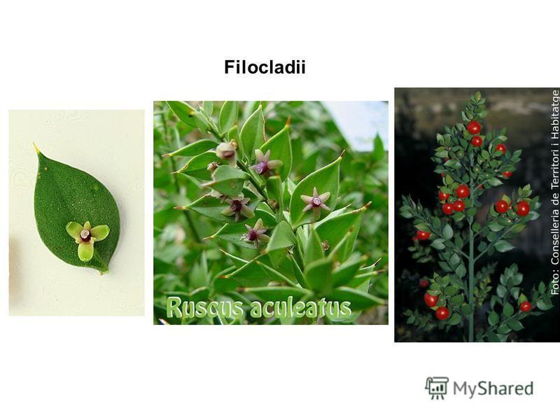 Filocladii Asparagus sprangaeri