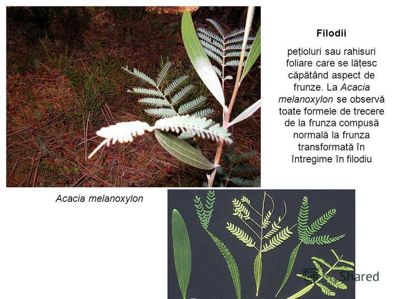 Acacia melanoxylon Filodii peţioluri sau rahisuri foliare care se lăţesc căpătând aspect de frunze. La Acacia melanoxylon se observă toate formele de trecere de la frunza compusă normală la frunza transformată în întregime în filodiu