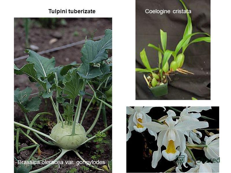 Coelogine cristata Brassica oleracea var. gongylodes Tulpini tuberizate