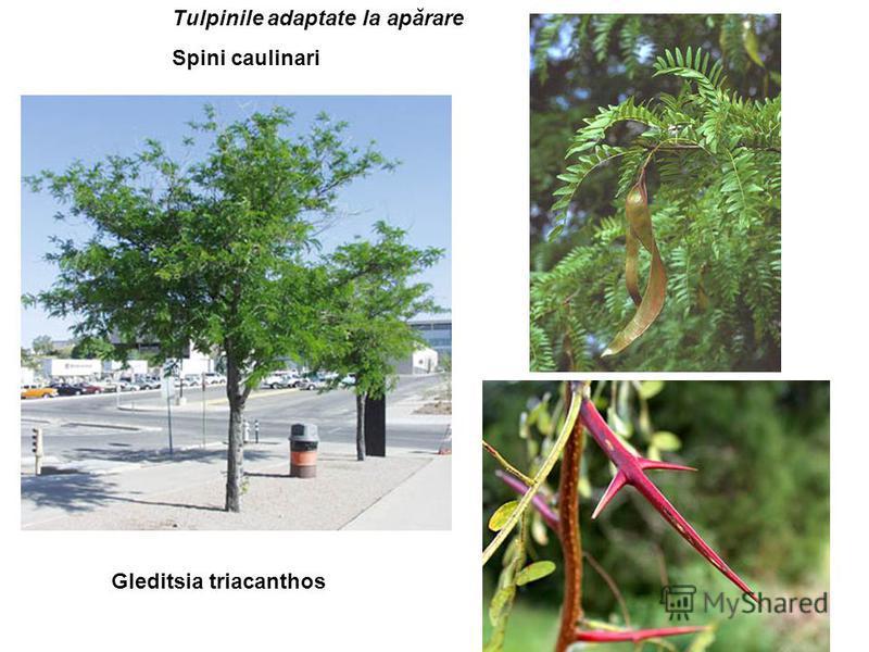 Gleditsia triacanthos Tulpinile adaptate la apărare Spini caulinari