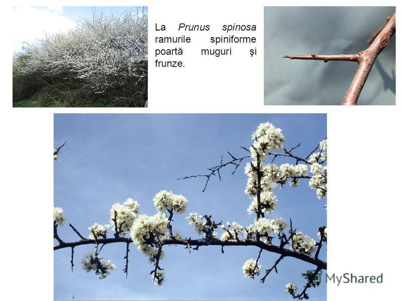 La Prunus spinosa ramurile spiniforme poartă muguri şi frunze.
