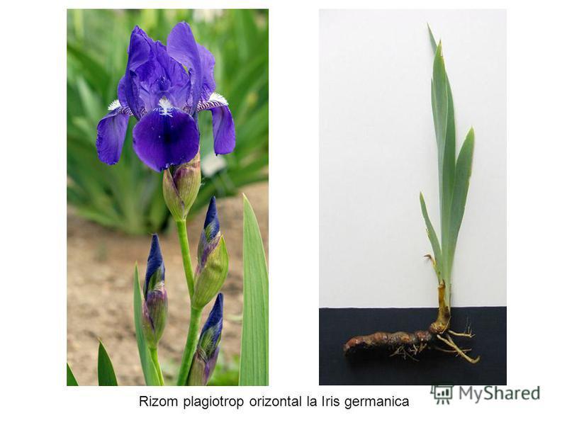 Rizom plagiotrop orizontal la Iris germanica