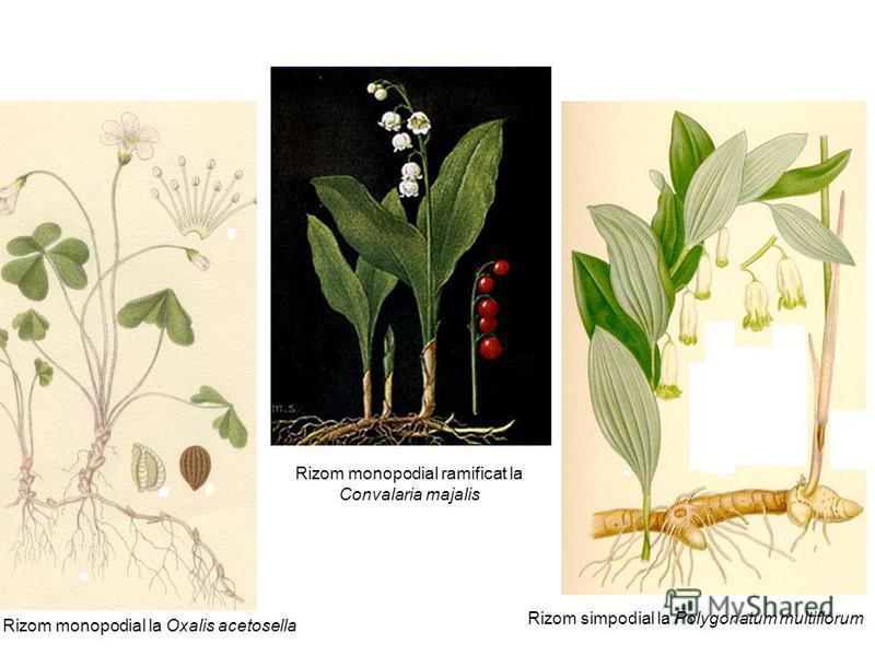 Rizom monopodial la Oxalis acetosella Rizom simpodial la Polygonatum multiflorum Rizom monopodial ramificat la Convalaria majalis