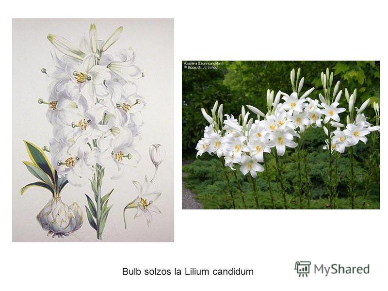 Bulb solzos la Lilium candidum