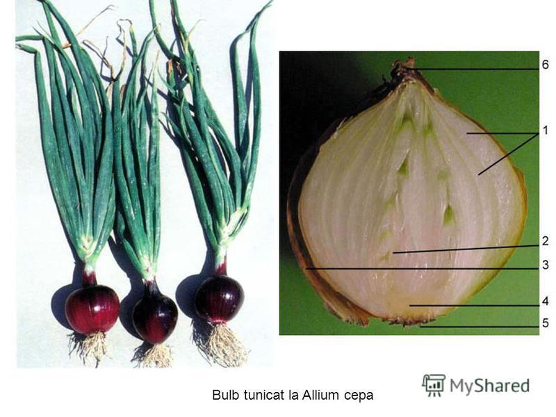 Bulb tunicat la Allium cepa