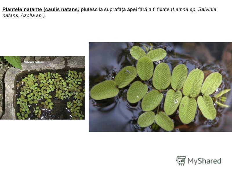 Plantele natante (caulis natans) plutesc la suprafaţa apei fără a fi fixate (Lemna sp, Salvinia natans, Azolla sp.).