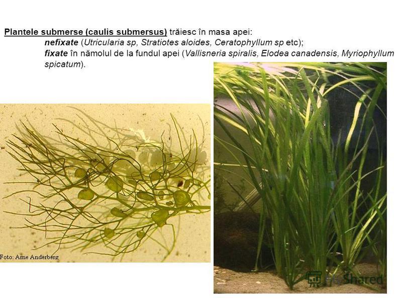 Plantele submerse (caulis submersus) trăiesc în masa apei: nefixate (Utricularia sp, Stratiotes aloides, Ceratophyllum sp etc); fixate în nămolul de la fundul apei (Vallisneria spiralis, Elodea canadensis, Myriophyllum spicatum).