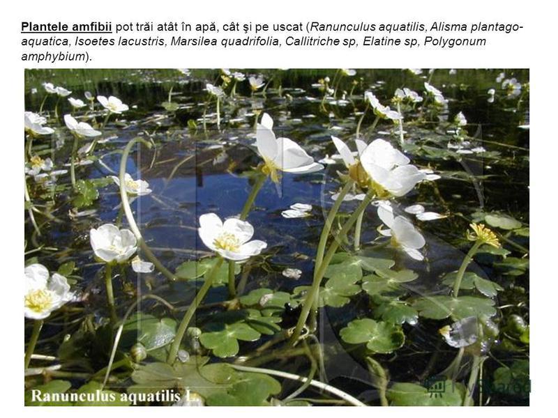 Plantele amfibii pot trăi atât în apă, cât şi pe uscat (Ranunculus aquatilis, Alisma plantago- aquatica, Isoetes lacustris, Marsilea quadrifolia, Callitriche sp, Elatine sp, Polygonum amphybium).