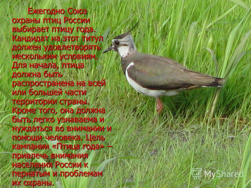 Ежегодно Союз охраны птиц России выбирает птицу года. Кандидат на этот титул должен удовлетворять нескольким условиям. Для начала, птица должна быть распространена на всей или большей части территории страны. Кроме того, она должна быть легко узнавае