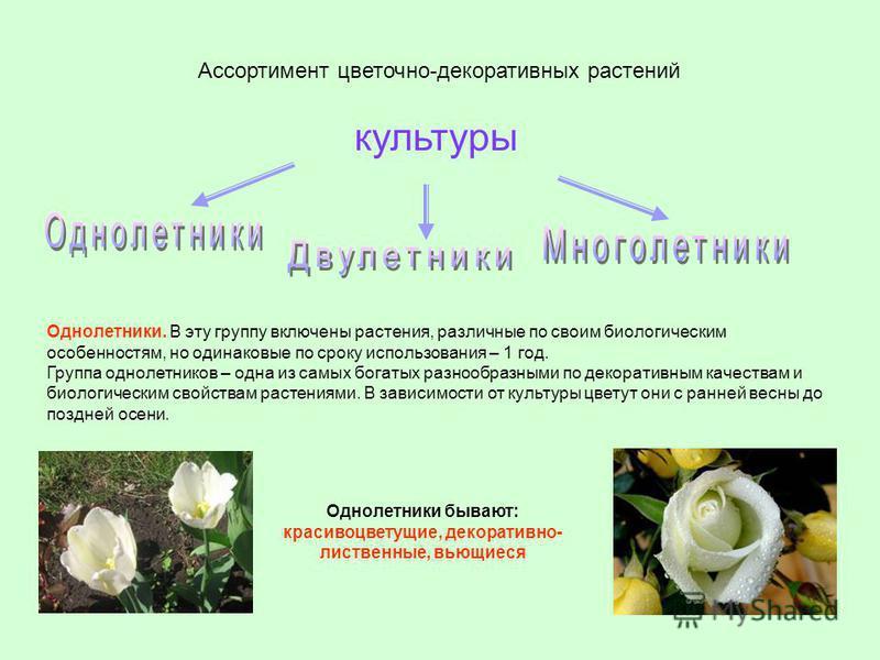 Однолетники бывают: красивоцветущие, декоративно- лиственные, вьющиеся Ассортимент цветочно-декоративных растений культуры Однолетники. В эту группу включены растения, различные по своим биологическим особенностям, но одинаковые по сроку использовани