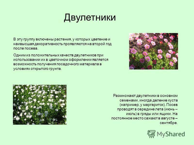 В эту группу включены растения, у которых цветение и наивысшая декоративность проявляются на второй год после посева. Одним из положительных качеств двулетников при использовании их в цветочном оформлении является возможность получения посадочного ма