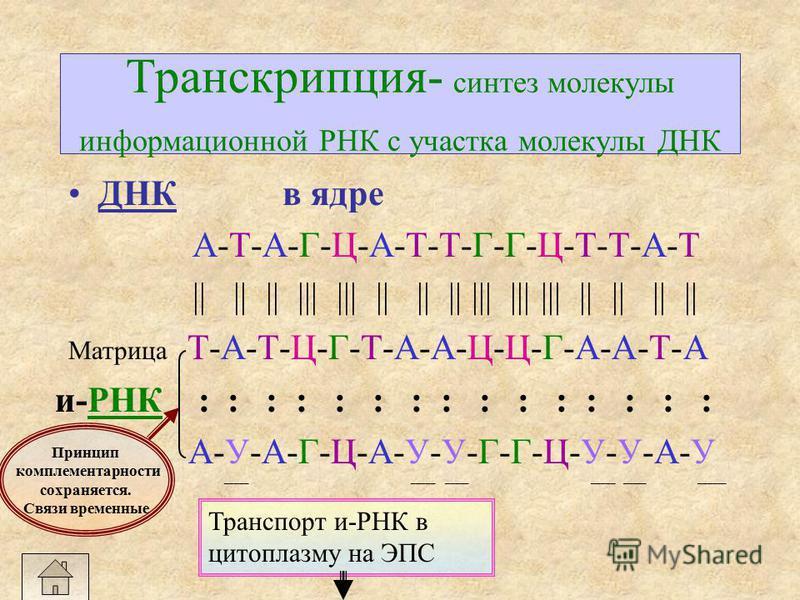 Репликация ДНК-синтез молекулы ДНК в ядре ДНК А-Т-А-Г-Ц-А-Т-Т-Г-Г-Ц-Т-Т-А-Т 1-ая цепь || || || ||| ||| || || || ||| ||| ||| || || || || водородные связи Т-А-Т-Ц-Г-Т-А-А-Ц-Ц-Г-А-А-Т-А 2-ая цепь н А Т ГЦ Связи между азотистыми основаниями нуклеотидов о
