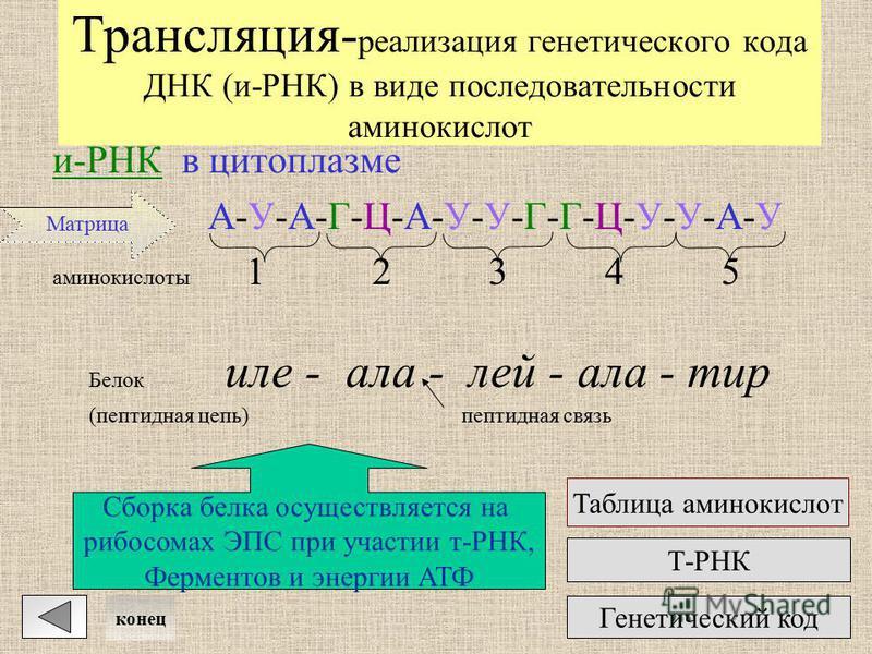 Транскрипция- синтез молекулы информационной РНК с участка молекулы ДНК и-РНК : : : : : : : : : : : : : : : А-У-А-Г-Ц-А-У-У-Г-Г-Ц-У-У-А-УА-У-А-Г-Ц-А-У-У-Г-Г-Ц-У-У-А-У _____ ______ ДНК в ядре А-Т-А-Г-Ц-А-Т-Т-Г-Г-Ц-Т-Т-А-Т || || || ||| ||| || || || |||