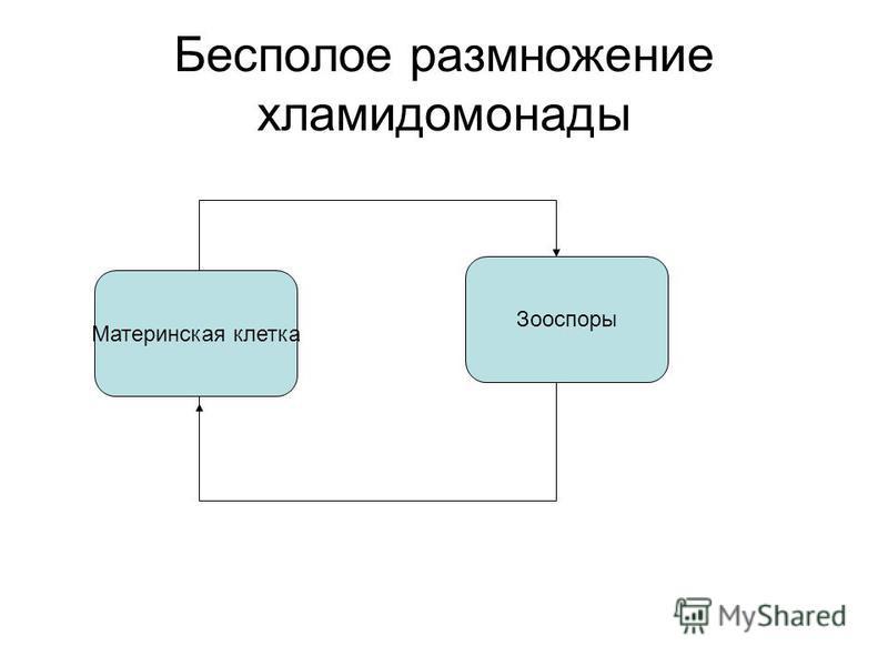 Бесполое размножение хламидомонады Материнская клетка Зооспоры