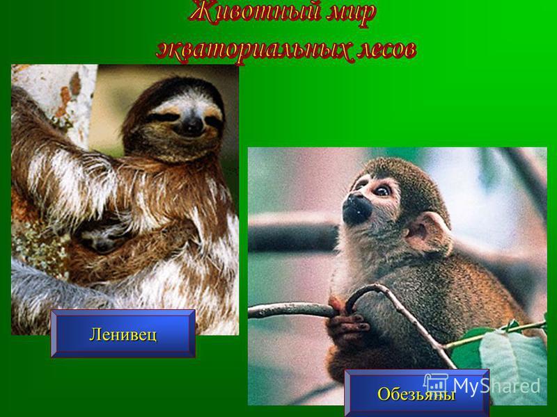 Ленивец Обезьяны