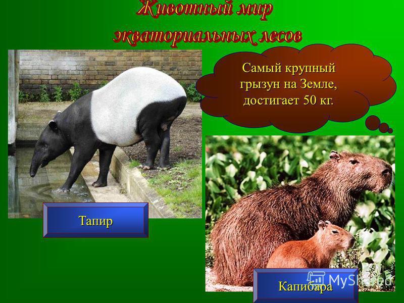 Тапир Капибара Самый крупный грызун на Земле, достигает 50 кг.