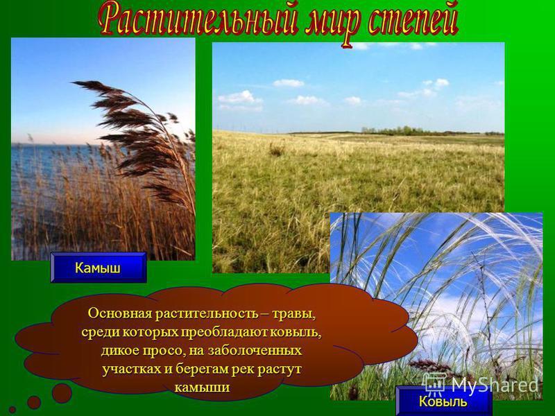 Основная растительность – травы, среди которых преобладают ковыль, дикое просо, на заболоченных участках и берегам рек растут камыши Камыш Ковыль