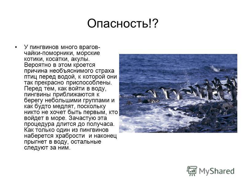 Опасность!? У пингвинов много врагов- чайки-поморники, морские котики, косатки, акулы. Вероятно в этом кроется причина необъяснимого страха птиц перед водой, к которой они так прекрасно приспособлены. Перед тем, как войти в воду, пингвины приближаютс