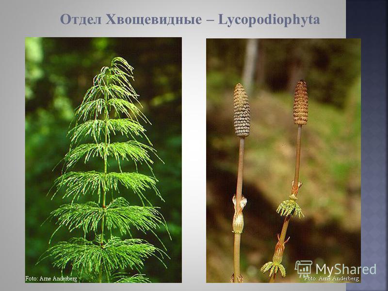 Отдел Хвощевидные – Lycopodiophyta