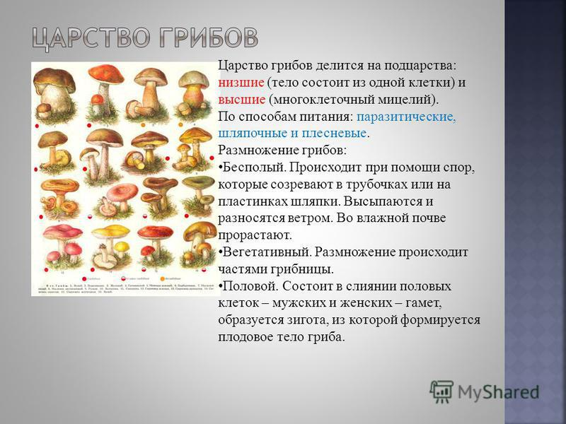Царство грибов делится на полцарства: низшие (тело состоит из одной клетки) и высшие (многоклеточный мицелий). По способам питания: паразитические, шляпочные и плесневые. Размножение грибов: Бесполый. Происходит при помощи спор, которые созревают в т