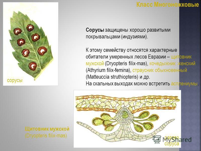 Класс Многоножковые Сорусы защищены хорошо развитыми покрывальцами (индузиями). К этому семейству относятся характерные обитатели умеренных лесов Евразии – щитовник мужской (Dryopteris filix-mas), кочедыжник женский (Athyrium filix-femina), страусник