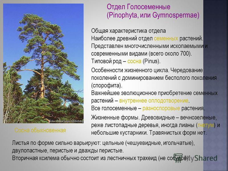 Отдел Голосеменные (Pinophyta, или Gymnospermae) Общая характеристика отдела Наиболее древний отдел семенных растений. Представлен многочисленными ископаемыми и современными видами (всего около 700). Типовой род – сосна (Pinus). Особенности жизненног