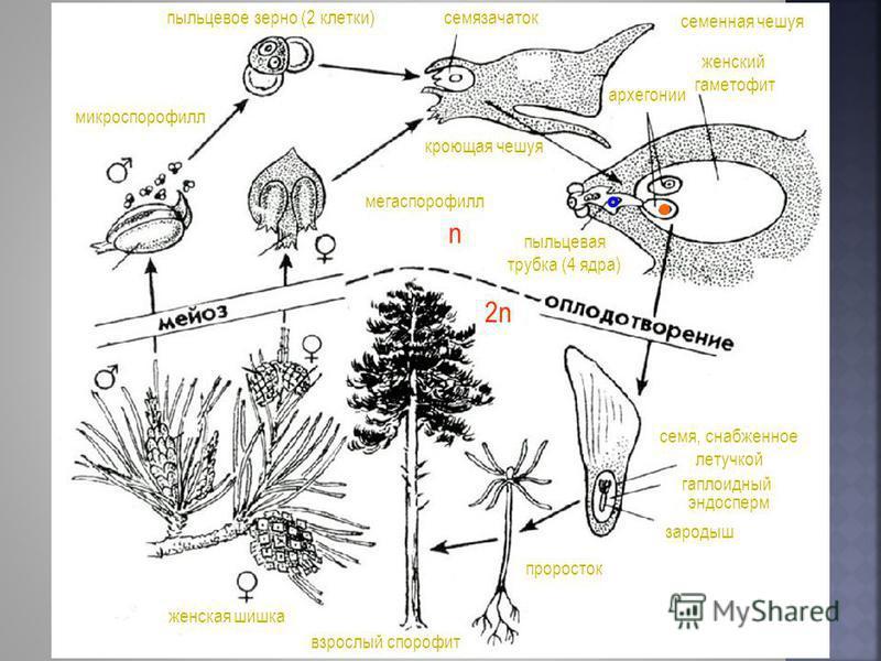 взрослый спорофит проросток семя, снабженное летучкой гаплоидный эндосперм зародыш женская шишка микроспорофилл пыльцевое зерно (2 клетки) мегаспорофилл семенная чешуя семязачаток кроющая чешуя пыльцевая трубка (4 ядра) женский гаметофит архегонии 2n