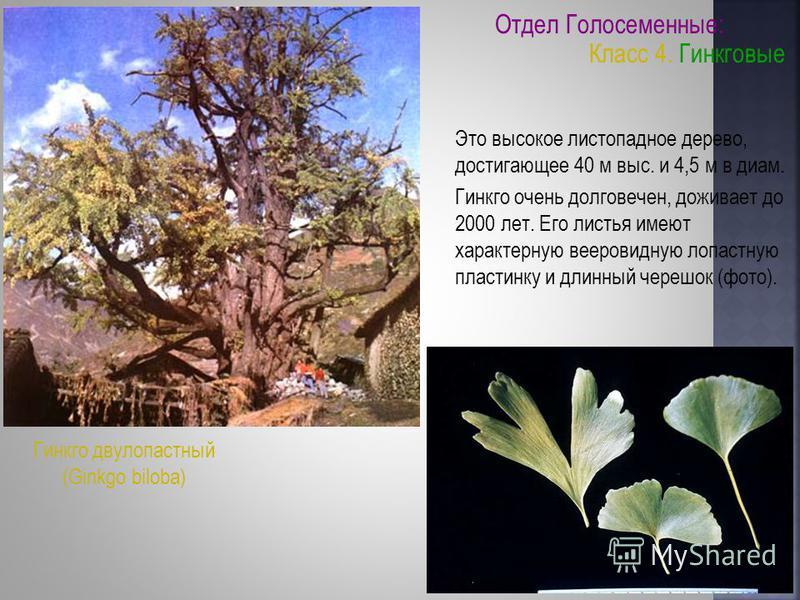 Это высокое листопадное дерево, достигающее 40 м выс. и 4,5 м в диам. Гинкго очень долговечен, доживает до 2000 лет. Его листья имеют характерную вееровидную лопастную пластинку и длинный черешок (фото). Гинкго двулопастный (Ginkgo biloba) Отдел Голо
