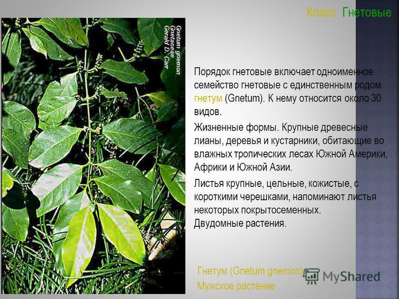 Класс Гнетовые Порядок гнетовые включает одноименное семейство гнетовые с единственным родом гнетум (Gnetum). К нему относится около 30 видов. Жизненные формы. Крупные древесные лианы, деревья и кустарники, обитающие во влажных тропических лесах Южно