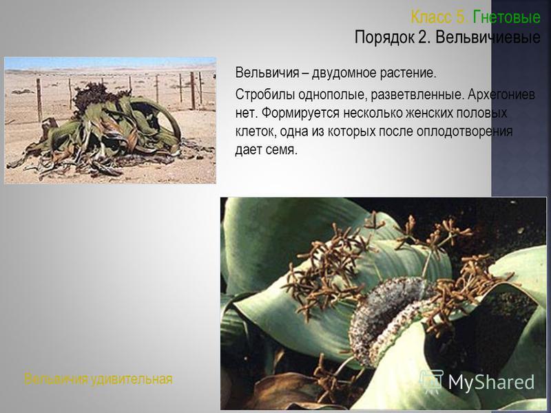 Класс 5. Гнетовые Порядок 2. Вельвичиевые Вельвичия – двудомное растение. Стробилы однополые, разветвленные. Архегониев нет. Формируется несколько женских половых клеток, одна из которых после оплодотворения дает семя. Вельвичия удивительная