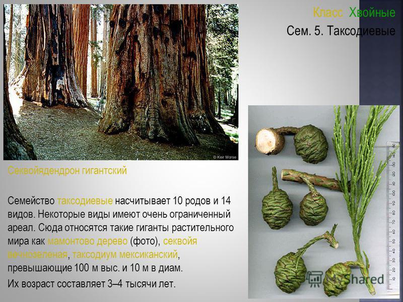 Класс Хвойные Семейство таксодиевые насчитывает 10 родов и 14 видов. Некоторые виды имеют очень ограниченный ареал. Сюда относятся такие гиганты растительного мира как мамонтово дерево (фото), секвойя вечнозеленая, таксодиум мексиканский, превышающие