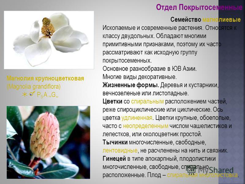 Отдел Покрытосеменные Семейство магнолиевые Ископаемые и современные растения. Относятся к классу двудольных. Обладают многими примитивными признаками, поэтому их часто рассматривают как исходную группу покрытосеменных. Основное разнообразие в ЮВ Ази