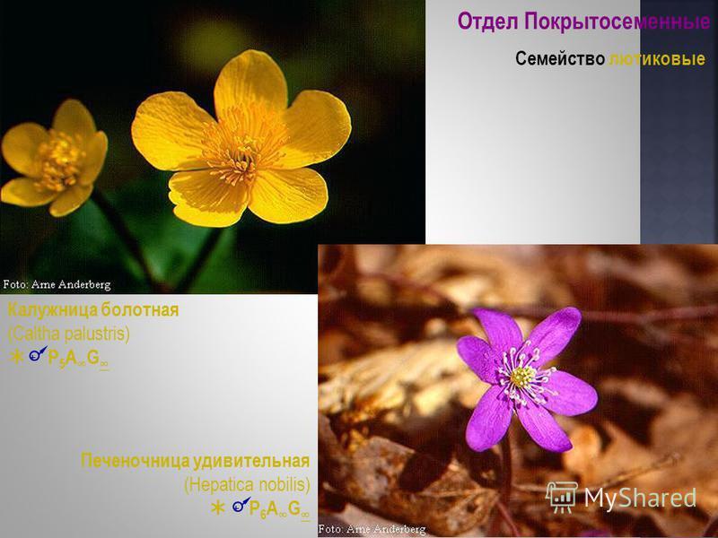 Отдел Покрытосеменные Семейство лютиковые Калужница болотная (Caltha palustris) P 5 A G Печеночница удивительная (Hepatica nobilis) P 6 A G + +