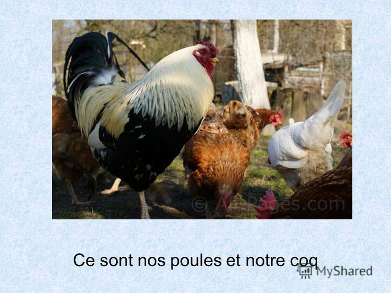 Ce sont nos poules et notre coq