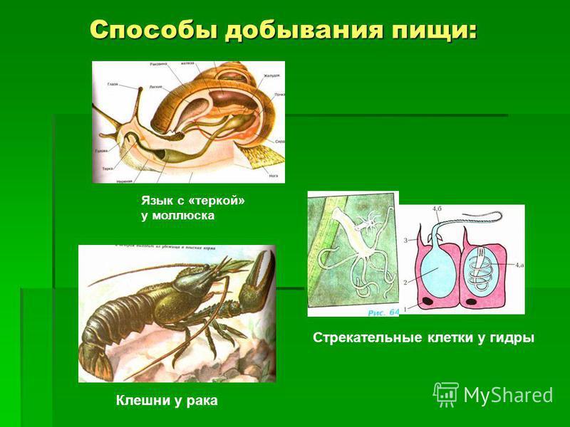 Способы добывания пищи: Способы добывания пищи: Язык с «теркой» у моллюска Стрекательные клетки у гидры Клешни у рака