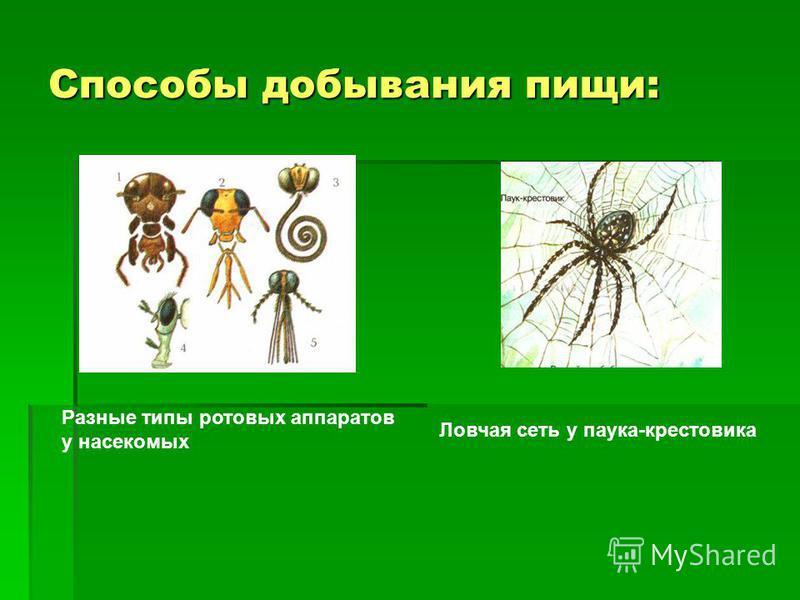 Способы добывания пищи: Ловчая сеть у паука-крестовика Разные типы ротовых аппаратов у насекомых