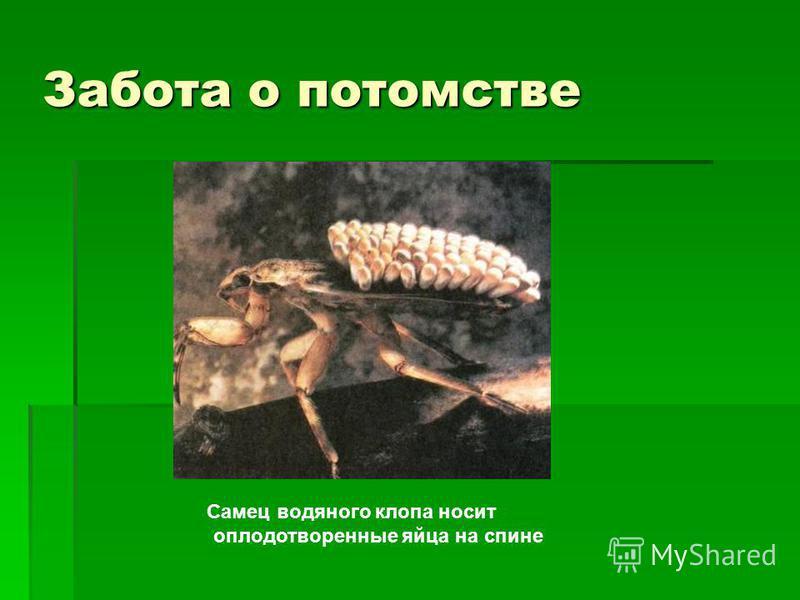 Забота о потомстве Самец водяного клопа носит оплодотворенные яйца на спине