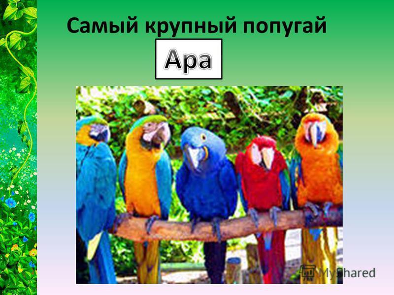 Самый крупный попугай