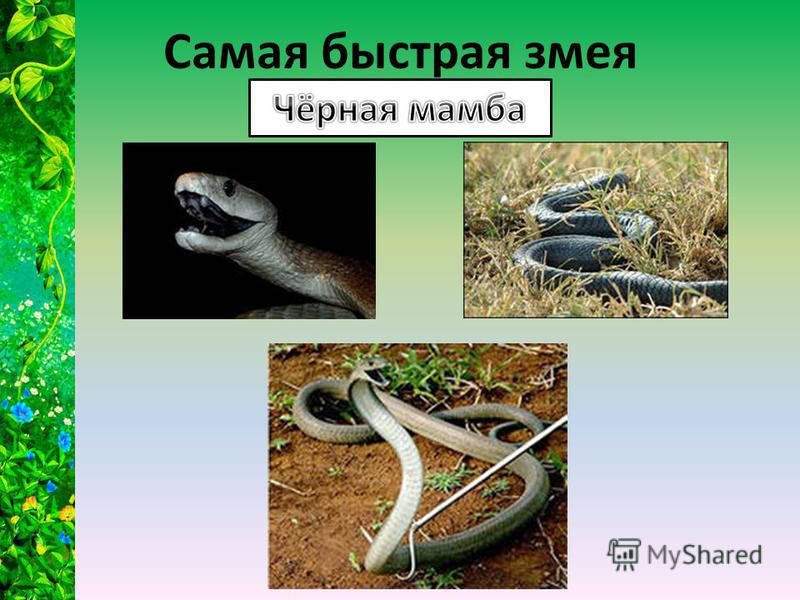 Самая быстрая змея