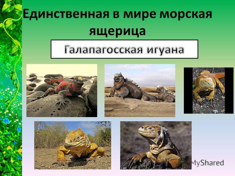 Единственная в мире морская ящерица