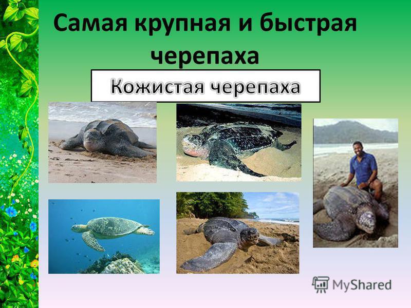 Самая крупная и быстрая черепаха