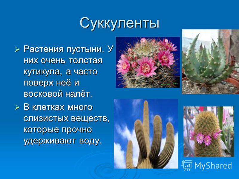 Суккуленты Растения пустыни. У них очень толстая кутикула, а часто поверх неё и восковой налёт. Растения пустыни. У них очень толстая кутикула, а часто поверх неё и восковой налёт. В клетках много слизистых веществ, которые прочно удерживают воду. В
