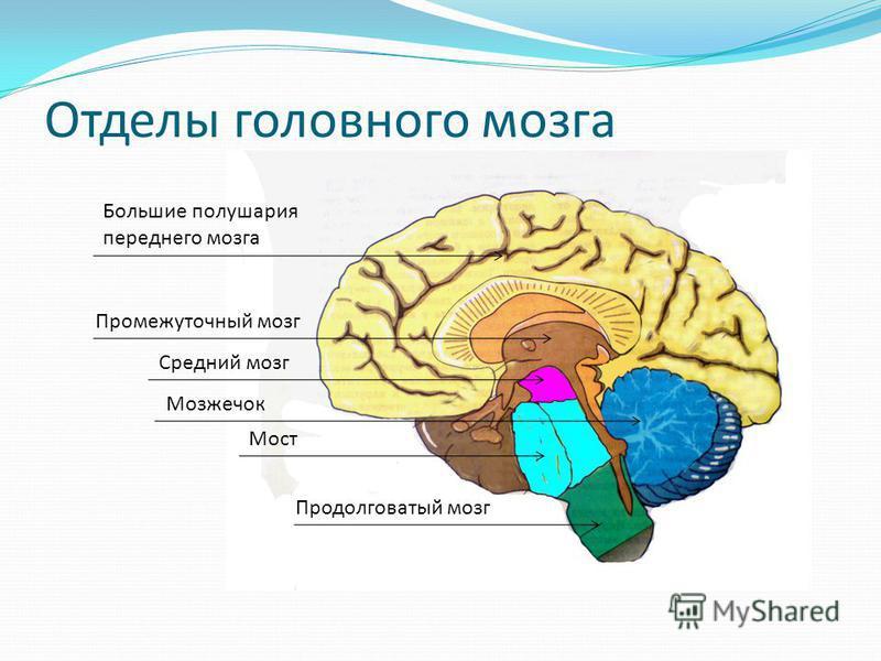 Отделы головного мозга Большие полушария переднего мозга Промежуточный мозг Мозжечок Мост Средний мозг Продолговатый мозг