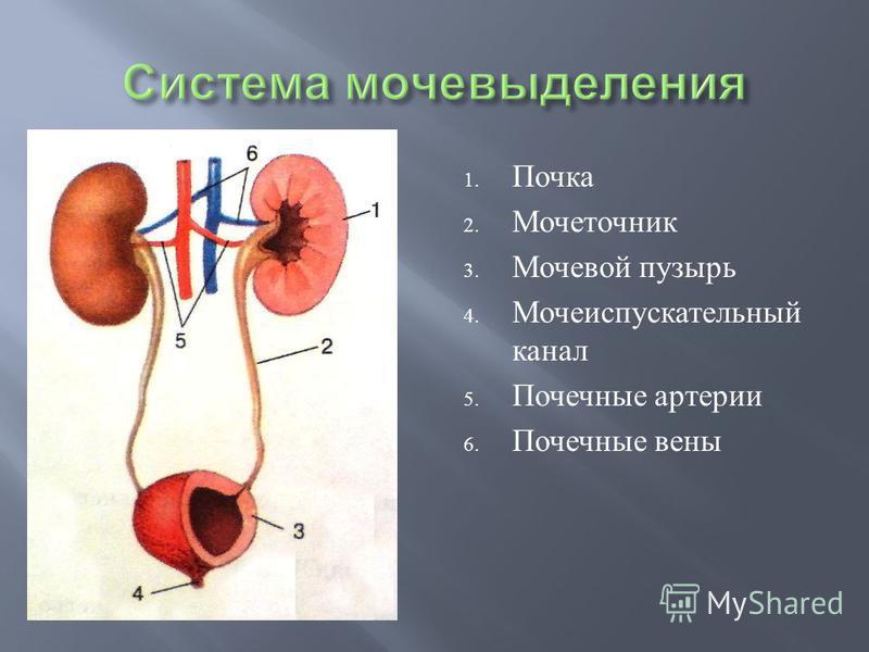 1. Почка 2. Мочеточник 3. Мочевой пузырь 4. Мочеиспускательный канал 5. Почечные артерии 6. Почечные вены